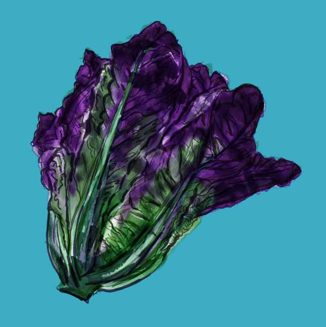 Purple romaine revised