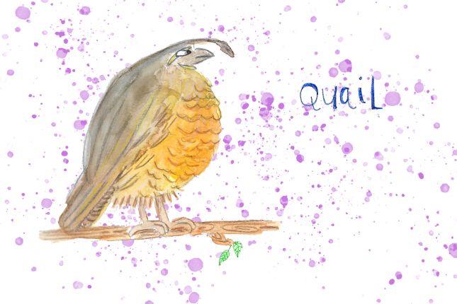Quail - series of bird illustrations